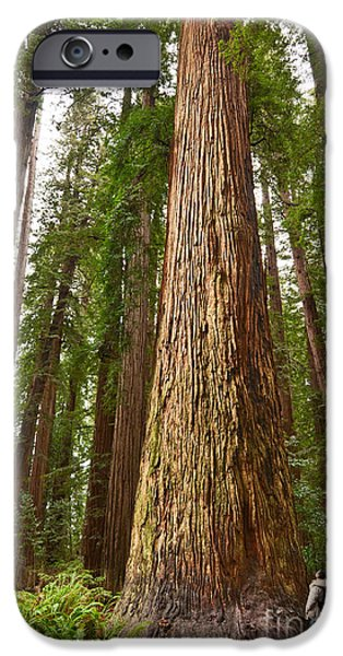 The Survivor - Massive Redwoods Sequoia Sempervirens In Redwoods National Park Named Stout Tree. IPhone Case by Jamie Pham