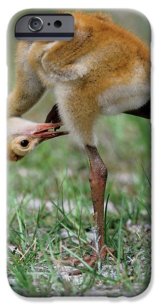 Usa, Florida Sandhill Crane Chick IPhone Case by Jaynes Gallery