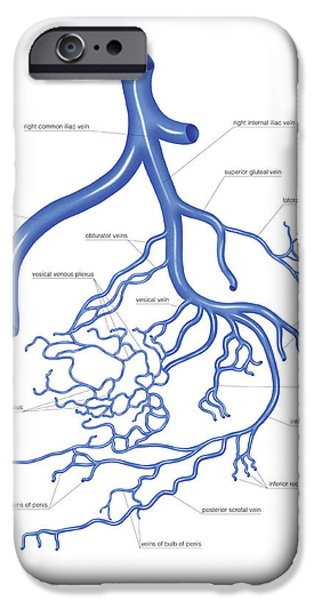 Venous System Of The Male Pelvis IPhone Case by Asklepios Medical Atlas