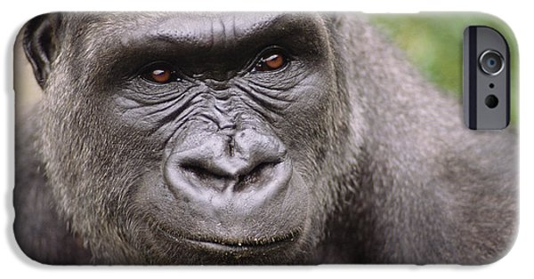 Western Lowland Gorilla Young Male IPhone 6s Case by Gerry Ellis