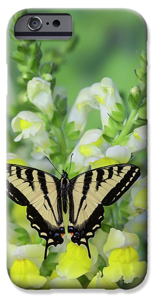 Western Tiger Swallowtail Butterfly IPhone Case by Darrell Gulin