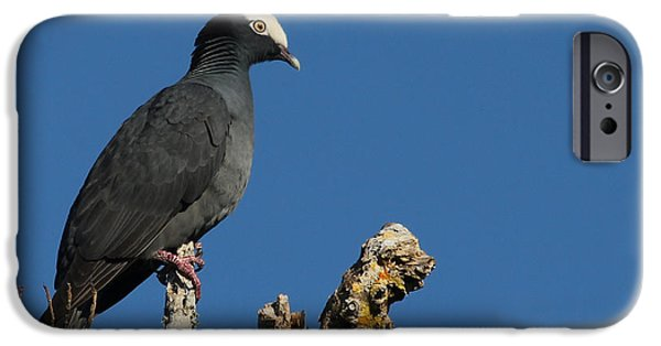White-crowned Pigeon IPhone Case by Meg Rousher
