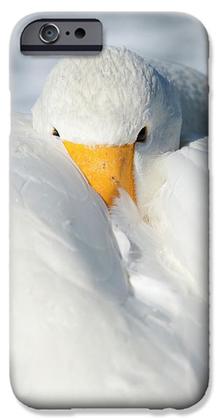 Whooper Swan Resting IPhone Case by Dr P. Marazzi