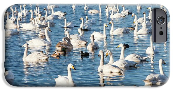 Whooper Swans IPhone Case by Ashley Cooper