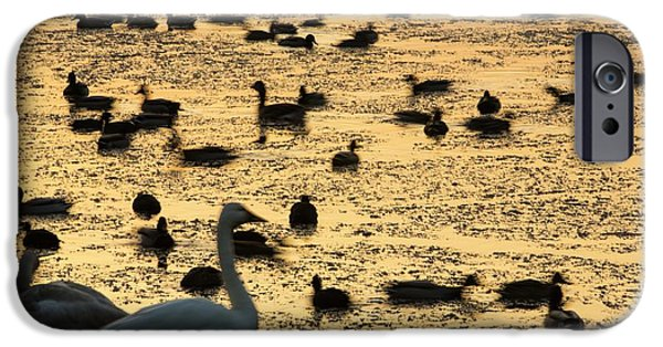 Whooper Swans At Martin Mere IPhone Case by Ashley Cooper