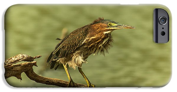 Windy Morn Green Heron IPhone Case by Robert Frederick