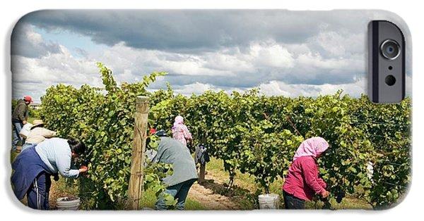 Wine Grape Harvest IPhone Case by Jim West