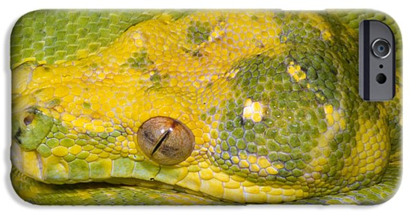 Green Tree Python IPhone 6s Case by Dante Fenolio