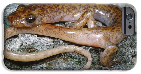 Cave Salamander IPhone 6s Case by Dante Fenolio