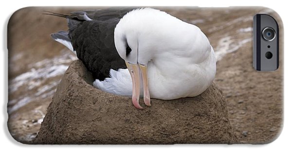 Black-browed Albatross Nesting IPhone Case by Charlotte Main
