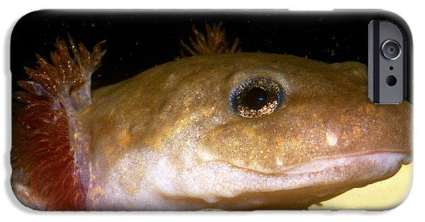 Pacific Giant Salamander Larva IPhone 6s Case by Dante Fenolio