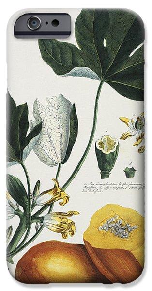 Papaya IPhone Case by Georg Dionysius Ehret