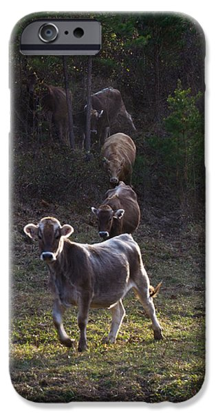 Yearling On The Run IPhone Case by Douglas Barnett