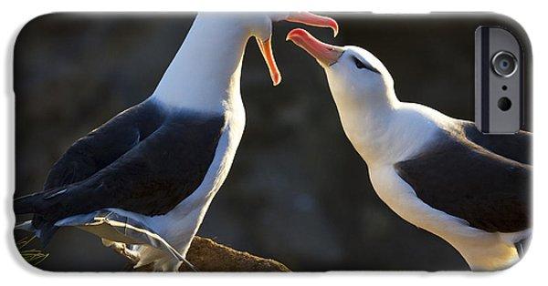 Black-browed Albatross Couple IPhone Case by Jean-Louis Klein & Marie-Luce Hubert