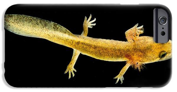 California Giant Salamander Larva IPhone 6s Case by Dant� Fenolio