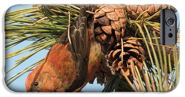 Crossbill IPhone 6s Case by Judd Nathan