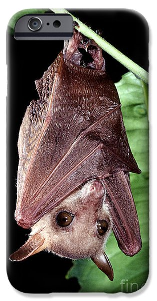 Northern Blossom Bat IPhone Case by B. G. Thomson