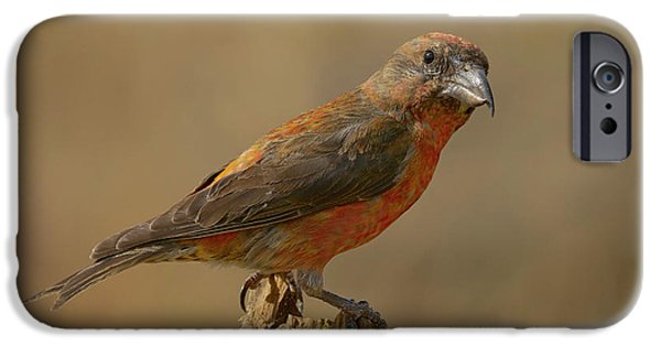 Red Crossbill IPhone 6s Case by Doug Herr