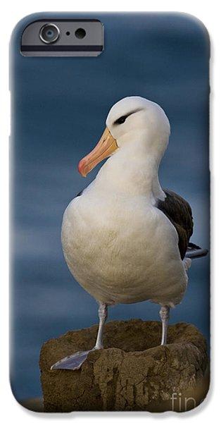 Black-browed Albatross IPhone Case by Jean-Louis Klein & Marie-Luce Hubert