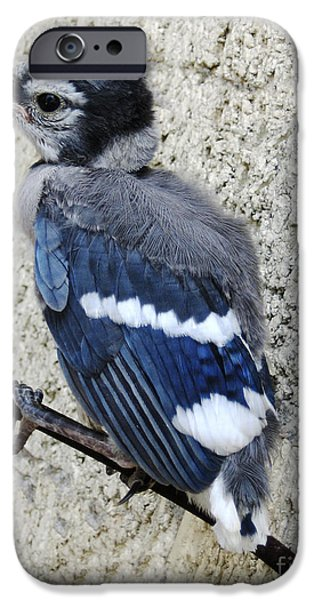 Baby Blue Jay IPhone Case by Ann Powell