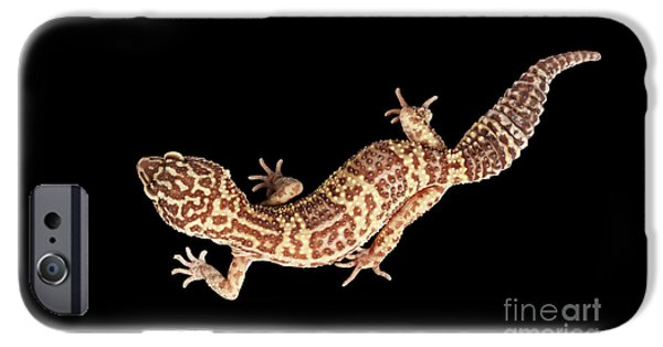 Closeup Leopard Gecko Eublepharis Macularius Isolated On Black Background IPhone 6s Case by Sergey Taran