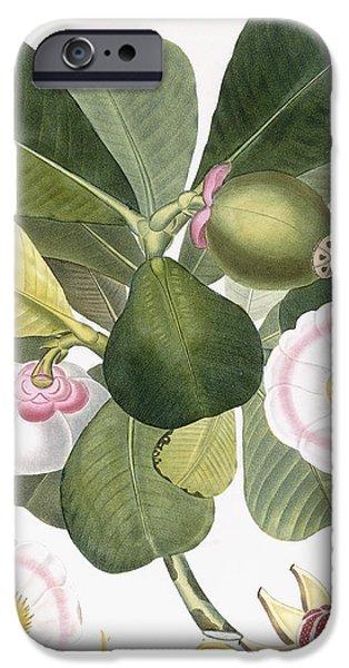 Clusia Rosea IPhone Case by Pierre Antoine Poiteau