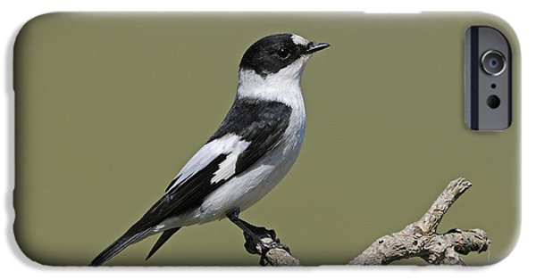 Collared Flycatcher IPhone 6s Case by Richard Brooks/FLPA