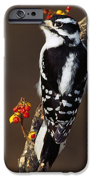 Downy Woodpecker On Tree Branch IPhone Case by Panoramic Images