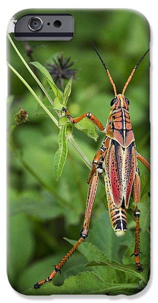 Eastern Lubber Grasshopper  IPhone 6s Case by Saija  Lehtonen
