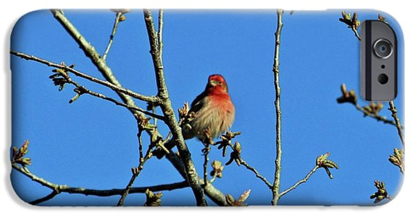 House Finch Male IPhone Case by Cynthia Guinn