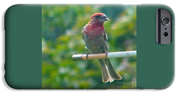 Male Crossbill With Sunflower Seed    August  Indiana IPhone Case by Rory Cubel