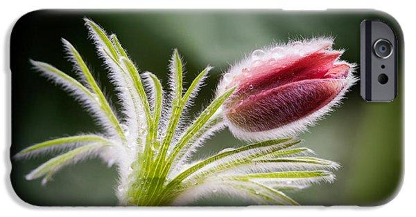 Pasque Flower IPhone Case by Janet Burdon