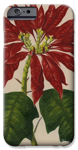 Poinsettia IPhone Case by English School