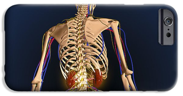 Rear View Of Human Skeleton Showing IPhone Case by Stocktrek Images