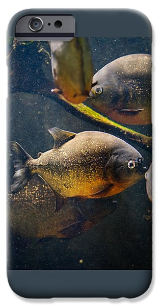 Red Bellied Hungry Piranha IPhone Case by Arletta Cwalina
