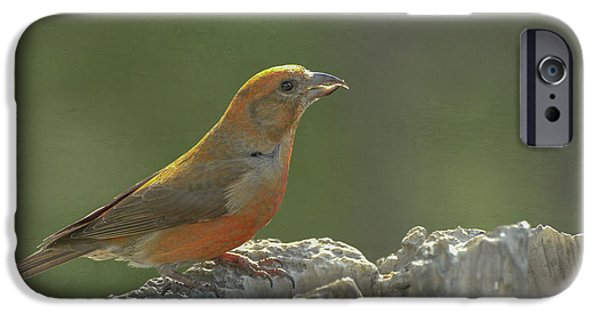 Red Crossbill IPhone 6s Case by Constance Puttkemery