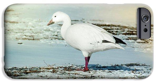 Snow Goose - Frozen Field IPhone Case by Robert Frederick