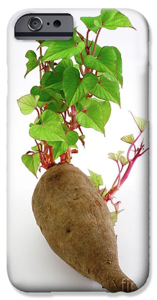 Sweet Potato IPhone 6s Case by Gaspar Avila