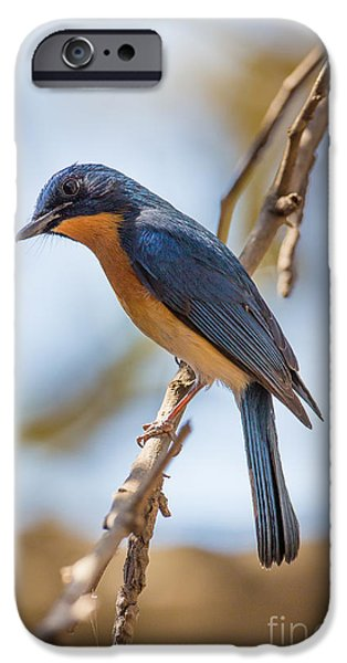 Tickells Blue Flycatcher, India IPhone 6s Case by B. G. Thomson