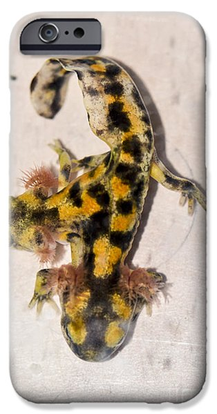 Two-headed Near Eastern Fire Salamande IPhone 6s Case by Shay Levy