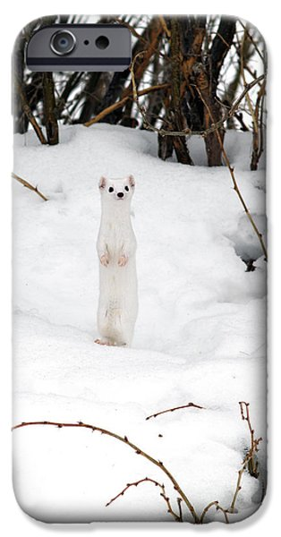 White Ermine IPhone Case by Leland D Howard