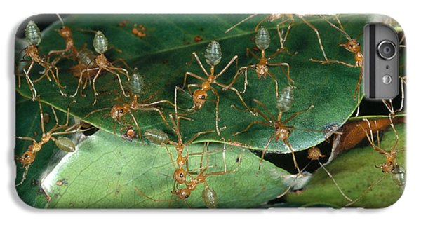 Weaver Ants IPhone 6s Plus Case by Gregory G. Dimijian, M.D.