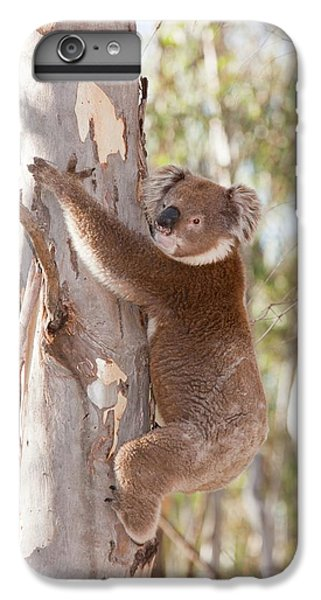 Koala Bear IPhone 6s Plus Case by Ashley Cooper