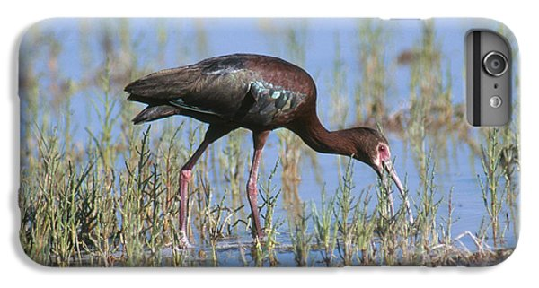 White-faced Ibis IPhone 6s Plus Case by Anthony Mercieca