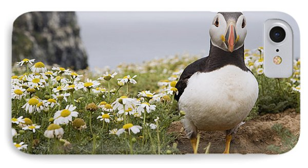 Atlantic Puffin In Breeding Plumage IPhone Case by Sebastian Kennerknecht
