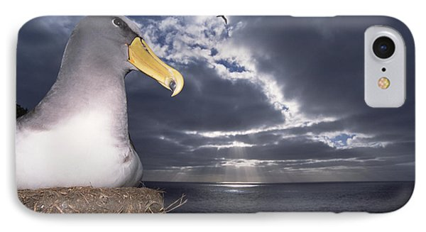Chatham Albatrosses Nesting On A Cliff IPhone Case by Tui De Roy