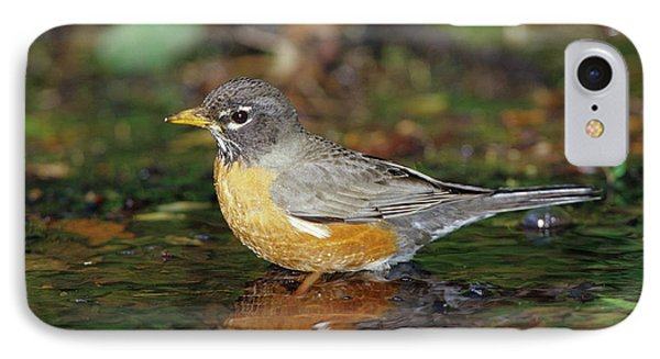 American Robin (turdis Migratorius IPhone Case by Richard and Susan Day