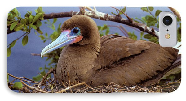 Brown Color Morph Of Red-footed Booby IPhone Case by Thomas Wiewandt