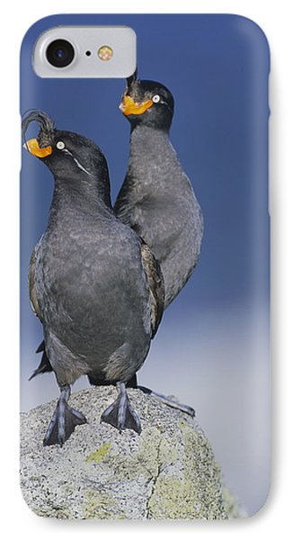 Crested Auklet Pair IPhone Case by Toshiji Fukuda