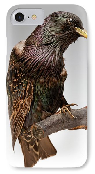 European Starling IPhone 7 Case by Ucl, Grant Museum Of Zoology